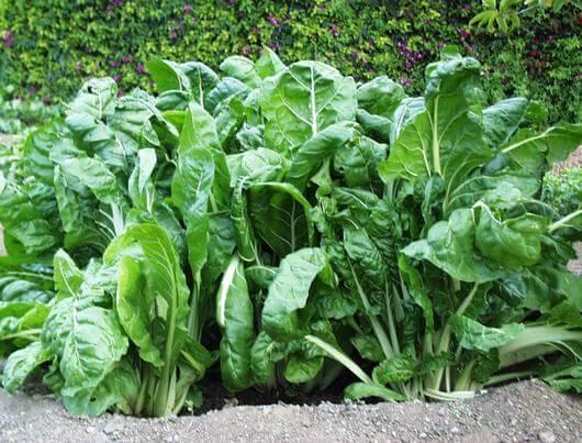 Propiedades medicinales de la acelga hierbas y plantas for Tipos de hierbas medicinales