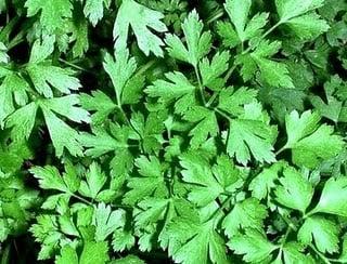 Propiedades medicinales del perejil hierbas y plantas for Hierbas y plantas medicinales