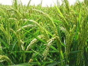 propiedades medicinales del arroz