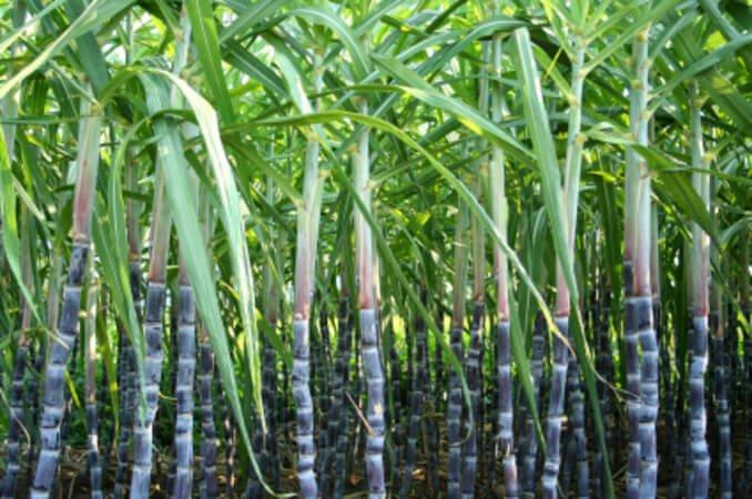 Propiedades Medicinales Caña De Azúcar Plantas Medicinales