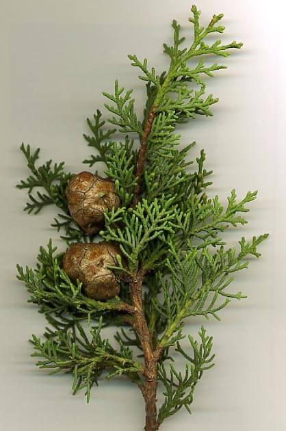 Propiedades medicinales del cipr s hierbas y plantas for Hierbas y plantas medicinales
