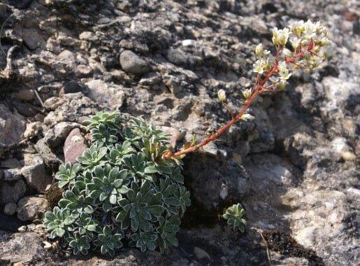 Saxifraga catalaunica