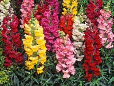 planta medicinal dragón