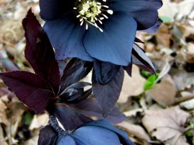 Eléboro negro medicinal