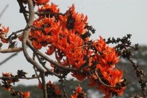 Butea monosperma planta