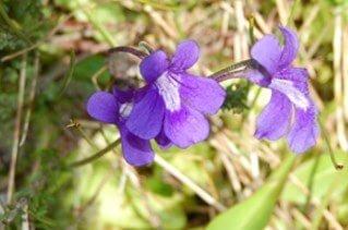 Flore de grasila