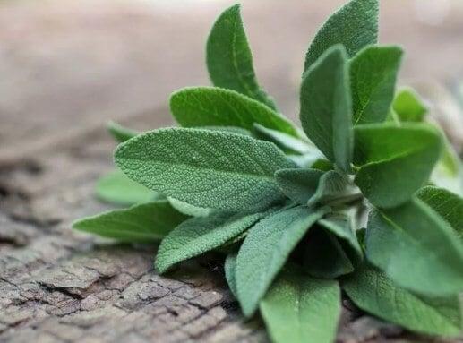 Salvia medicinal